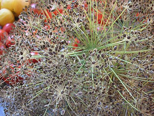 семя укропа от паразитов как принимать