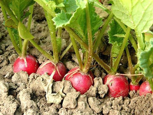 Урожай ранней редиски
