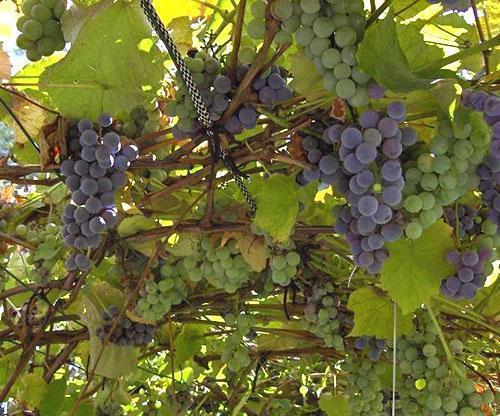 Виноград не любит резких