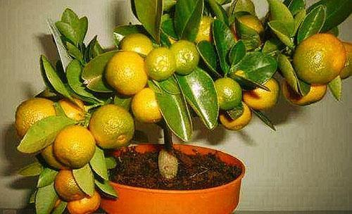 Успешно привитый и плодоносящий мандарин