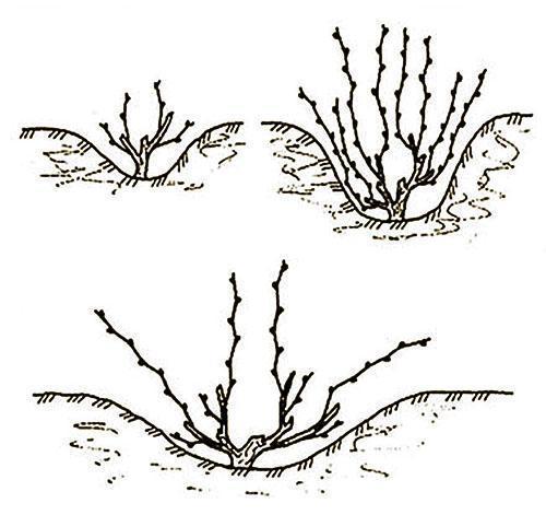 Веерная штамбовая обрезка на четыре рукава