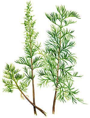 Укропное дерево