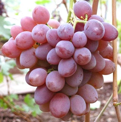 Описание и винограда подарок запорожью 33