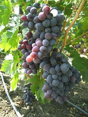 Лучшие сорта винограда