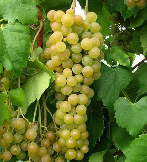 Виноград без семечек