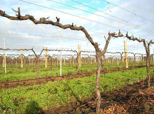 Виноград готов к зимовке