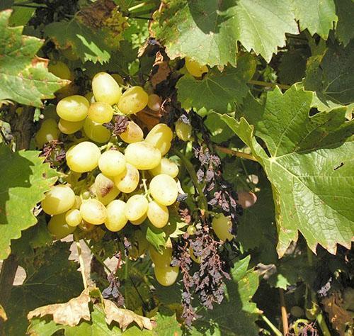 Фото винограда кисти