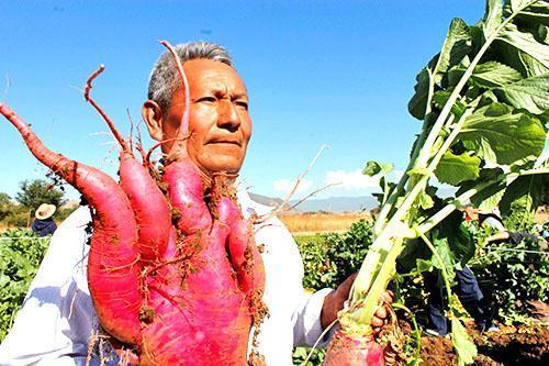 Вот такой редис растет в Мексике