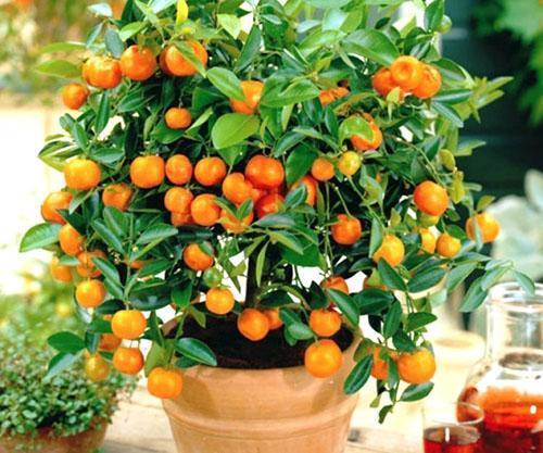 Апельсиновое дерево обои на рабочий стол
