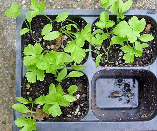 Выращивание петрушки в горшках