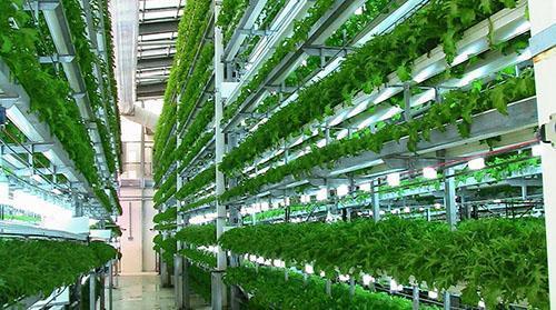 Выращивание петрушки в домашних условиях 53