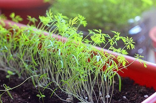 Выращивание рассады укропа