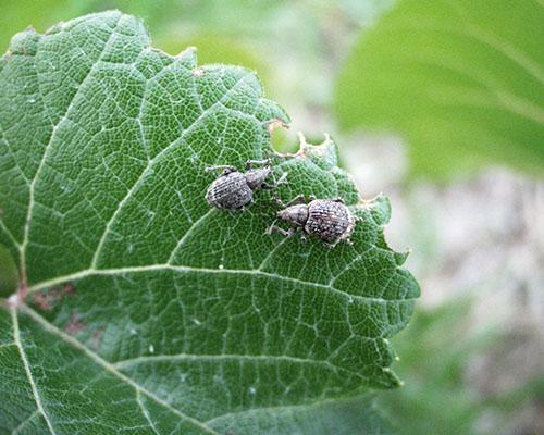 Жуки-долгоносики повреждают виноград