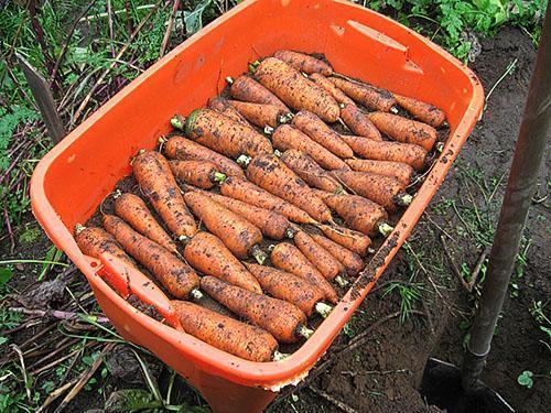 Закладка моркови на хранение в песок
