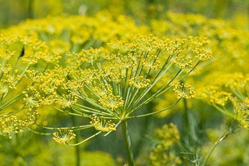 Защищенный от болезней укроп хорошо развивается и цветет