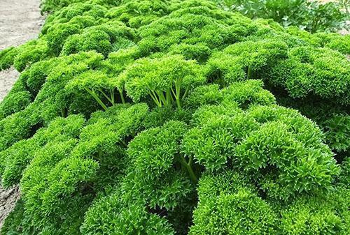 Зелень кудрявой петрушки