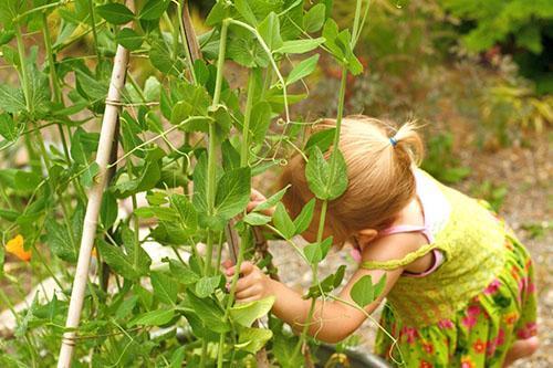Зеленый горох любимое лакомство детей