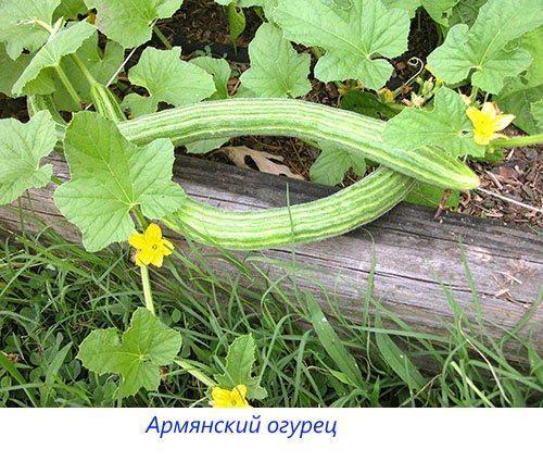 Армянский огурец
