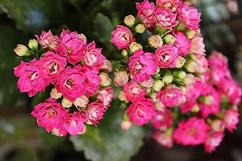 Чтобы появились красивые соцветия, необходимо соблюдать температурный режим