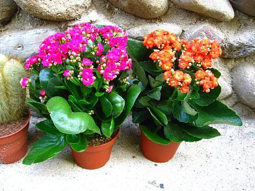 Цветет Каландива