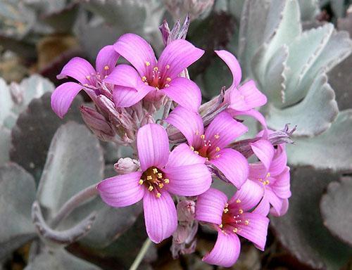 Цветет Пумила