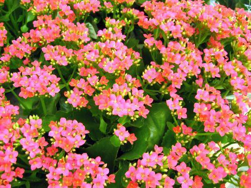 Цветоносы с цветками на каланхоэ
