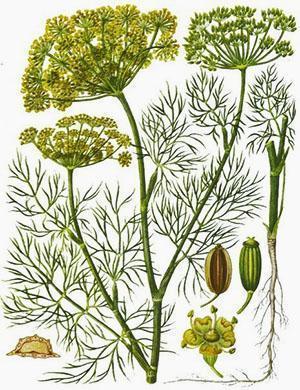 Для организма человека полезны все части растения