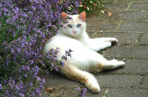 Кошка обожает погреться на солнышке возле куста мяты
