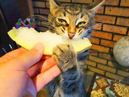 Кот с наслаждением ест дыню