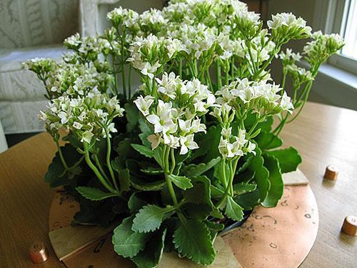 Красиво цветет каланхоэ в осенне-зимний период