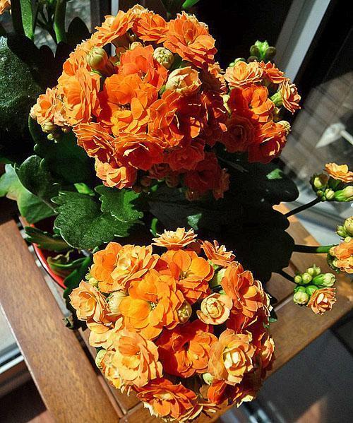 Миниатюрная Каландива выбросила пышные соцветия