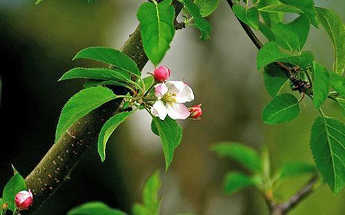 Молодые листья яблони