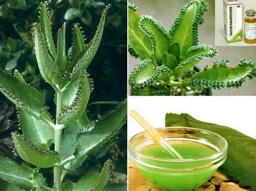 Настойку каланхоэ используют вместе с другими лекарственными растениями