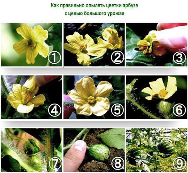 Выращивание арбузов в Сибири в теплице, уход, когда убирать, видео