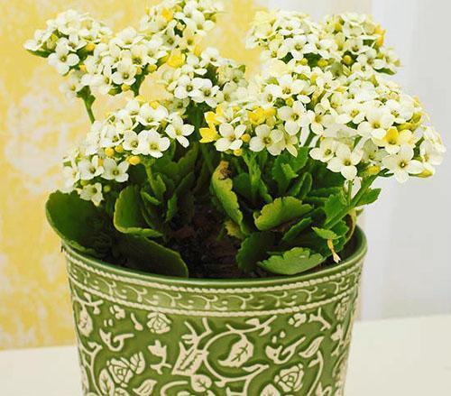 Отлично подобранный горшок и цветок каланхоэ