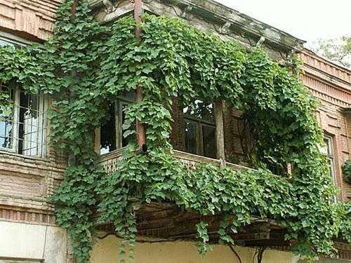 Девичий виноград на балконе посадка и уход
