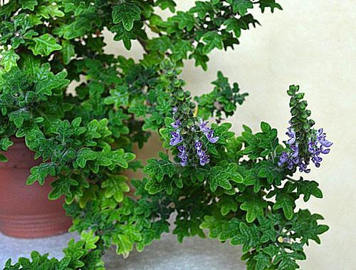 Плектрантус дуболистый цветет