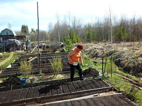 Посев укропа весной на открытой грядке