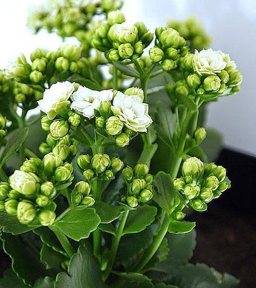Расцветает белая Каландива