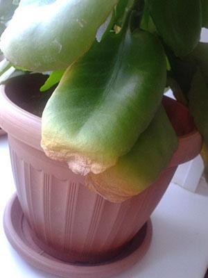 Растение приболело