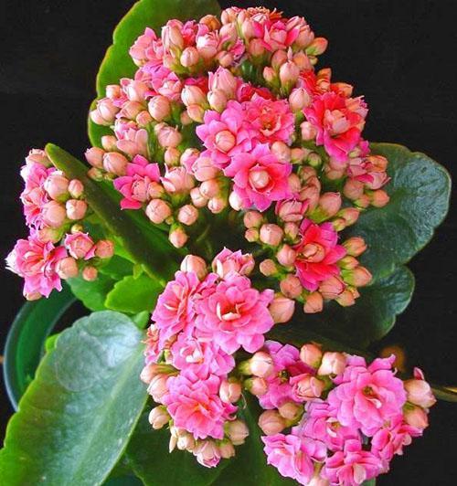 Розовая Блоссфельда