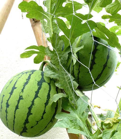 Соблюдение агротехники выращивания и своевременная профилактика дают хороший результат