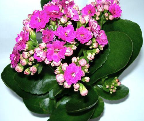Соцветия каланхоэ бывают самых разных цветов