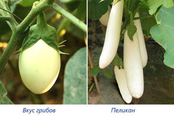Сорта Вкус грибов и Пеликан