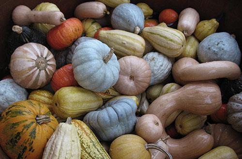 Сорта тыквы, выращиваемые в регионах России