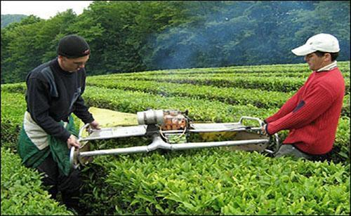 Срезание цветов мяты на плантациях