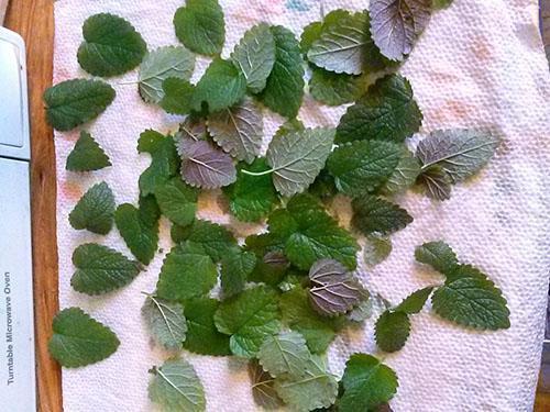 Сушим листья мяты для чая