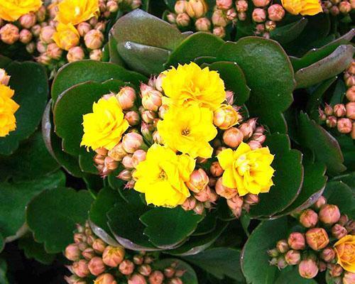 В домашних условия приобретенный в магазине каланхоэ тоже может цвести