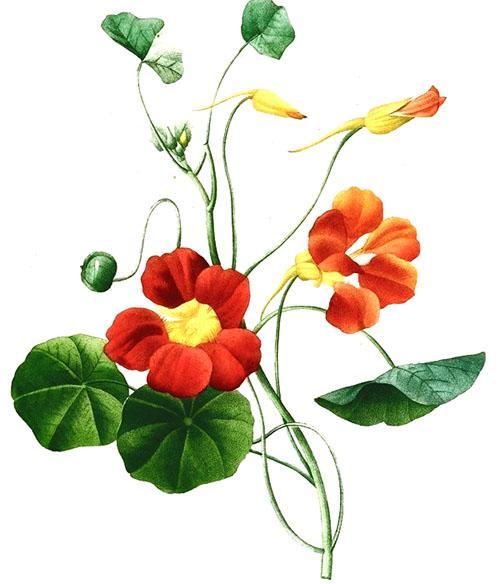 В народной медицине используют все части растения