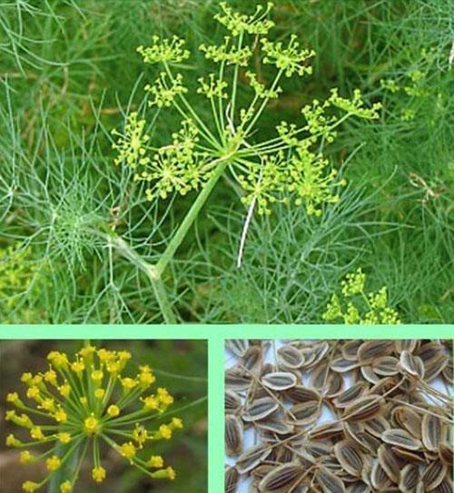 В семенах укропа много микроэлементов и биоактивных веществ